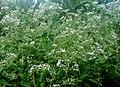കമ്യൂണിസ്റ്റ് പച്ച... Chromolaena odoratum.JPG