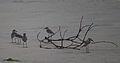 വലിയ മണൽക്കോഴി Charadrius leschenaultii 02.jpg