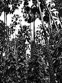 คำชะโนด , Kham Chanot - panoramio.jpg