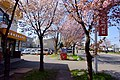 あしりべつ桜並木通り(Ashiribetsu row of cherry blossom trees) - panoramio.jpg