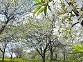 すももの花(Plum flowers) - panoramio.jpg