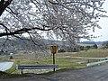 千石町の桜 - panoramio (1).jpg