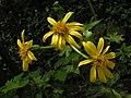 大頭橐吾 Ligularia japonica -香港西貢獅子會自然教育中心 Saikung, Hong Kong- (9216083726).jpg