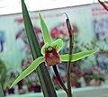 寒蘭雪中紅 Cymbidium kanran 'Red amidst Snow' -香港北區花鳥蟲魚展 North District Flower Show, Hong Kong- (12304545056).jpg