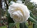山茶花-完全重瓣型 Camellia japonica Formal Double Form -昆明金殿 Kunming, China- (9227099447).jpg