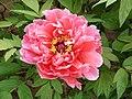 日本牡丹-楊貴妃 Paeonia suffruticosa 'Lady Yang' -洛陽王城公園 Luoyang, China- (12478263744).jpg