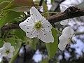 晶圓梨 Pyrus pyrifolia -台北花博 Taipei Flora Expo- (9229877180).jpg