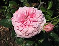 月季-甜仕女 Rosa Sweet Lady -深圳人民公園 Shenzhen Renmin Park, China- (42112367024).jpg