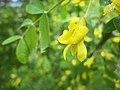 樹錦雞兒 Caragana arborescens -挪威 Lom, Norway- (36200941416).jpg