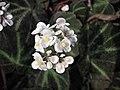 秋海棠屬 Begonia soli-mutata -倫敦植物園 Kew Gardens, London- (9216115960).jpg