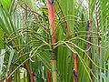 紅柄椰 Cyrtostachys renda -新加坡植物園 Singapore Botanic Gardens- (9222670220).jpg