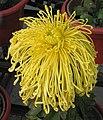 菊花-君子 Chrysanthemum morifolium 'Gentleman' -中山小欖菊花會 Xiaolan Chrysanthemum Show, China- (11961618114).jpg