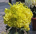 菊花-舞爪金龍 Chrysanthemum morifolium 'Golden Dragon Waving Claws' -中山小欖菊花會 Xiaolan Chrysanthemum Show, China- (12065007294).jpg