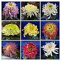 菊花 Chrysanthemum morifolium Cultivars 3 -上海松江方塔園 Song Jiang, Shanghai- (12129084005).jpg