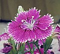 鬚苞石竹(五彩石竹) Dianthus barbatus -香港北區花鳥蟲魚展 North District Flower Show, Hong Kong- (9447973743).jpg