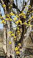 산수유 꽃7.jpg