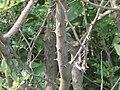산초나무 줄기.JPG