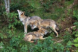 00 5781 Wolfsrudel.jpg