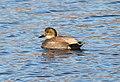 024 - GADWALL (12-15-10) patagonia lake, scc, az (10) (8711820884).jpg