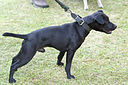 05078045 Patterdale Terrier.jpg