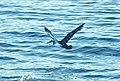 136 - MANX SHEARWATER (9-15-2918) MAS pelagic trip, out of bar harbor, me -16 (42989403670).jpg