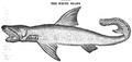 1834 WhiteShark AmericanMagazine v1 Boston.png