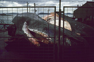 Whaling in Australia - Sperm whale remains at the Albany Whaling Station in July 1977