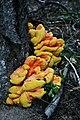 2007. Sulfur shelf fungus (Laetiporus sulphureus). (25748537918).jpg
