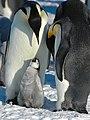 2007 Snow-Hill-Island Luyten-De-Hauwere-Emperor-Penguin-109.jpg