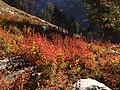 2013-09-16 07 55 41 Autumn colored vegetation at about 9480 feet on the Island Lake Trail in Lamoille Canyon, Nevada.jpg
