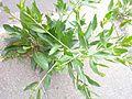 20130704Lepidium latifolium-3.jpg