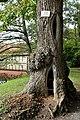 2014-10-12 Sommerlinde, Burg Vischering,Lüdinghausen,NRW 03.jpg