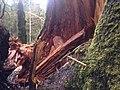 2014. Sitka spruce tree failure from Phaeolus schweinitzii on the Hoh, Olympic National Park, Washington. (24751780937).jpg