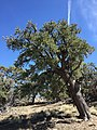 2015-04-27 13 47 13 An older Single-leaf Pinyon on the north wall of Maverick Canyon, Nevada.jpg