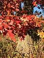 2015-11-15 14 45 42 Scarlet Oak foliage in autumn along Interstate 95 in Hopewell Township, Mercer County, New Jersey.jpg