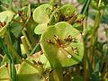20150606Claytonia perfoliata4.jpg