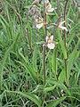 20150621Epipactis palustris1.jpg