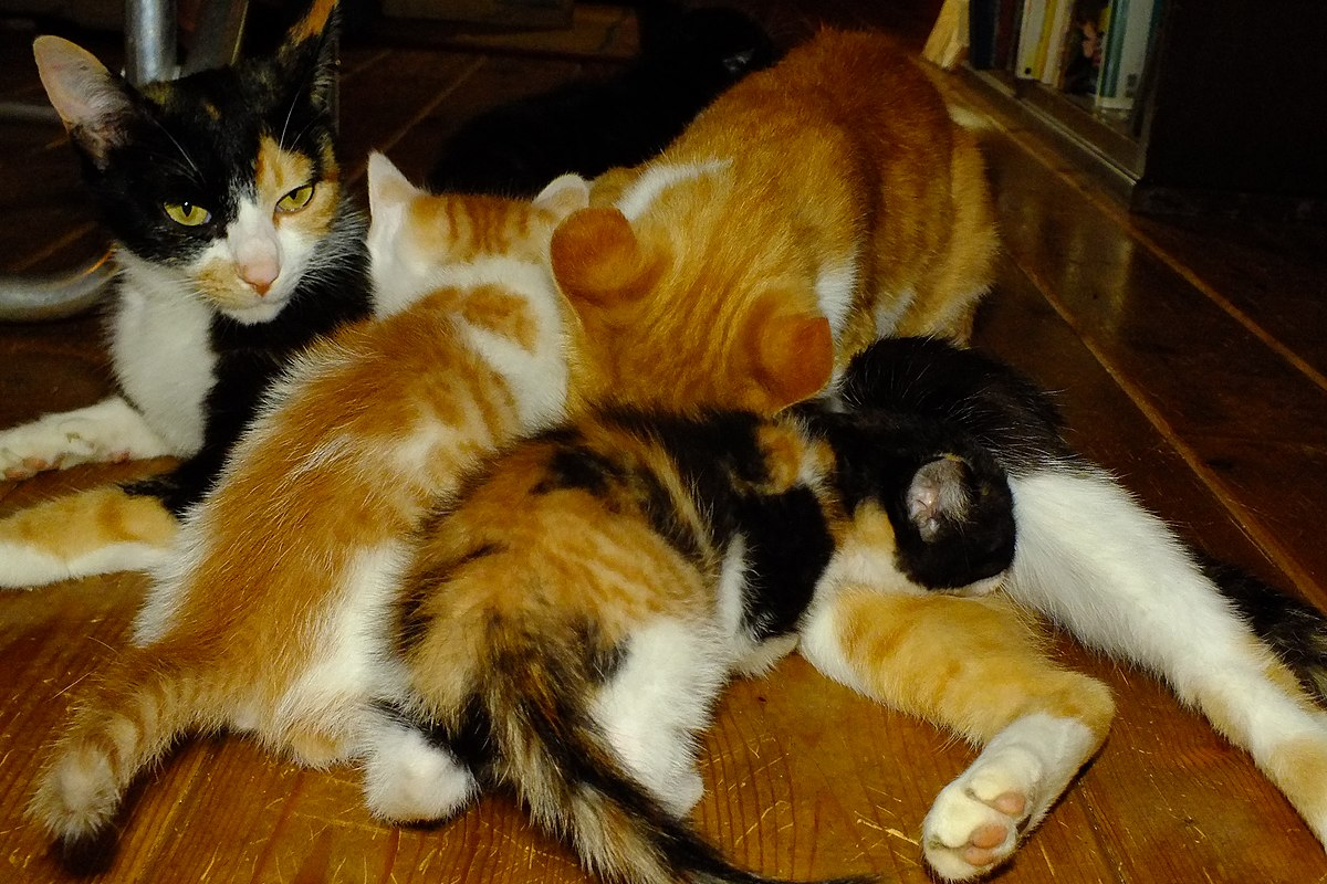 2016-06-14 Breast-feeding of Cats ネコの授乳 DSCF6490.jpg