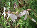 20160821Saponaria officinalis1.jpg