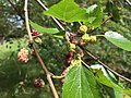 2017-05-29 15 39 55 White Mulberry fruit along a walking trail in the Franklin Glen section of Chantilly, Fairfax County, Virginia.jpg