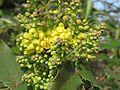 20170314Mahonia aquifolium.jpg