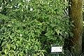 20171014 - Capsicum baccatum var. praetermissum - 1.jpg
