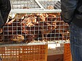2018-02-12 Young chickens for sale, Algoz market (1).JPG