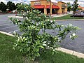 2018-06-06 15 53 57 A Sweetbay Magnolia blooming in front of a Popeye's Louisana Kitchen along Centreville Road (Virginia State Route 657) just south of McLearen Road (Virginia State Route 668) in Oak Hill, Fairfax County, Virginia.jpg