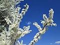 20190319 Prunus cerasifera 4.jpg