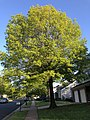 2020-05-10 19 03 11 Pin Oak leafing out in spring along Ladybank Lane in the Chantilly Highlands section of Oak Hill, Fairfax County, Virginia.jpg