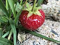 2021-06-02 09 42 23 Strawberry plant with ripening strawberries along Old Dairy Court in the Franklin Farm section of Oak Hill, Fairfax County, Virginia.jpg