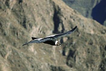 204 - Canyon de Colca - Condor des Andes - Juin 2010.JPG