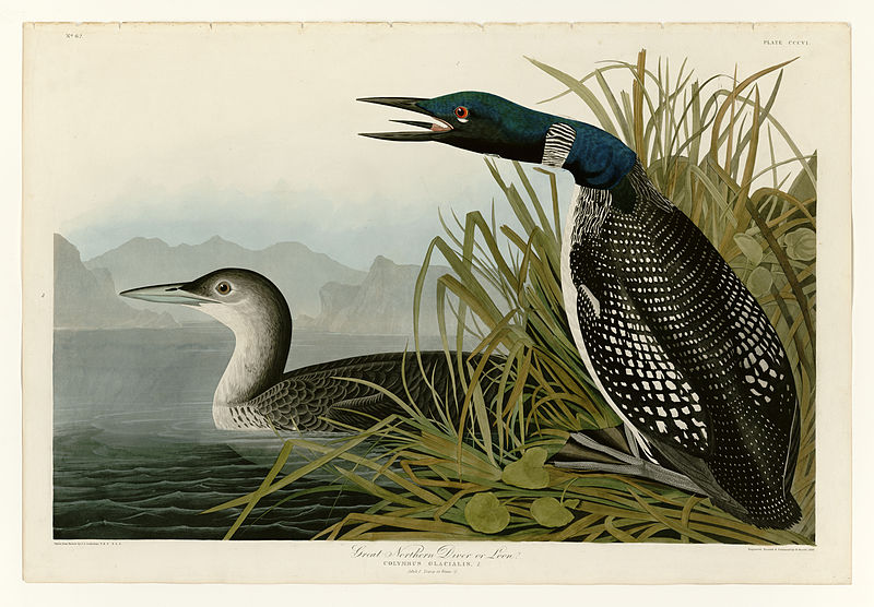 File:306 Great Northern Diver or Loon.jpg