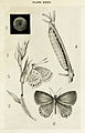 33-Indian-Insect-Life - Harold Maxwell-Lefroy - Catochrysops-cnejus.jpg